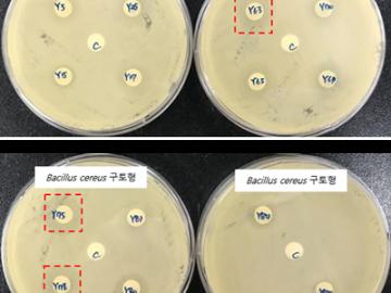 막걸리 유산균, 항산화 효과·식중독세균 항균효과 '우수'